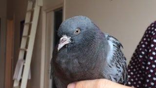 RANDOM! Saving a pigeon