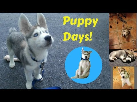 Download Youtube: My husky As a Puppy! - Gohan's Puppy Days!