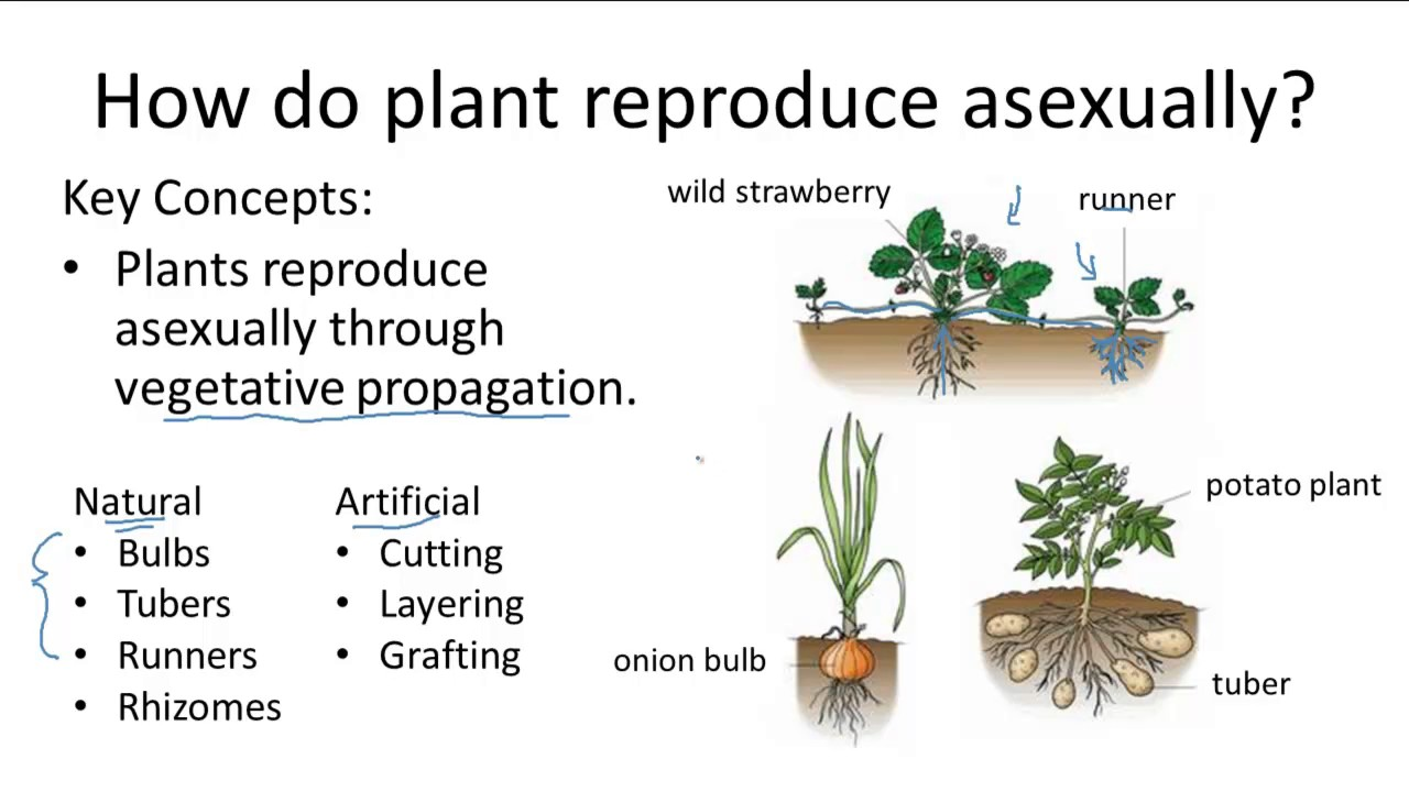 Plant asexual reproduction bulbs
