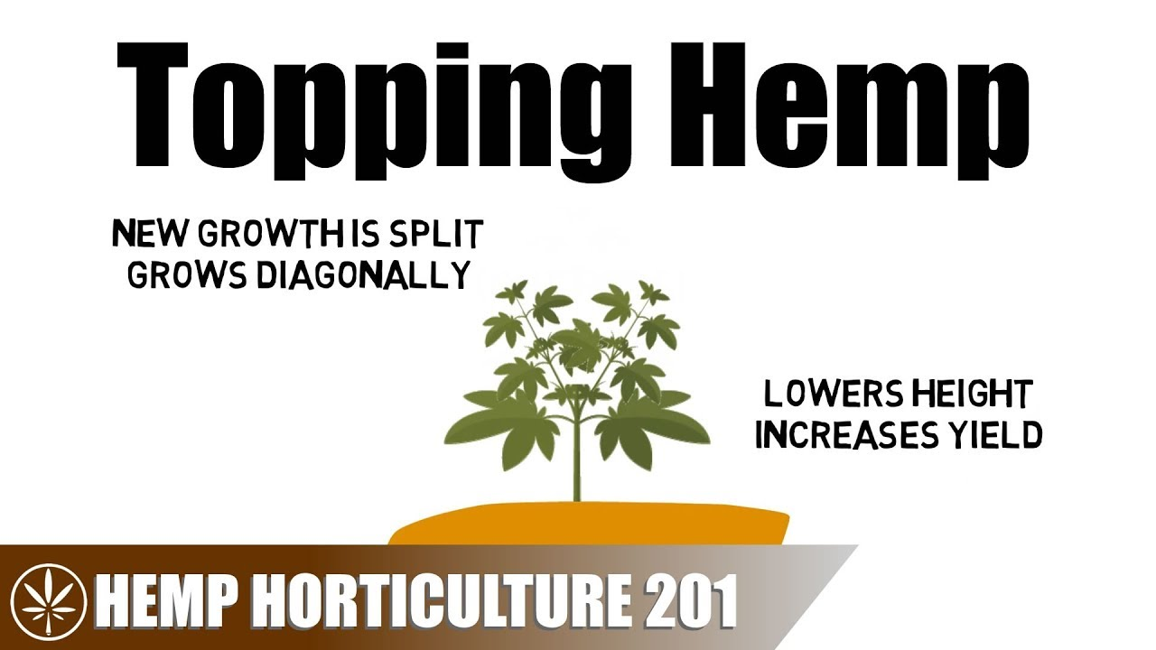 How To Top A Hemp Plant