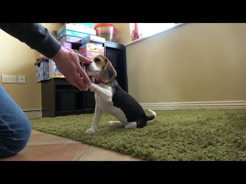 Our new puppy first tricks : Beagle puppy 12 wks Lilly