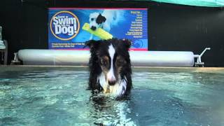 Mini Australian Shepherd Learning To Dive Underwater For Toys In Swimming Pool