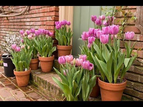 Посадка тюльпанов в контейнеры.Создаем весеннюю сказку в октябре