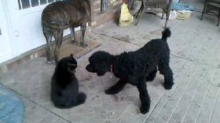 Vicious Standard Poodle Attack Techniques On 3 Legged Cat Cute Dog