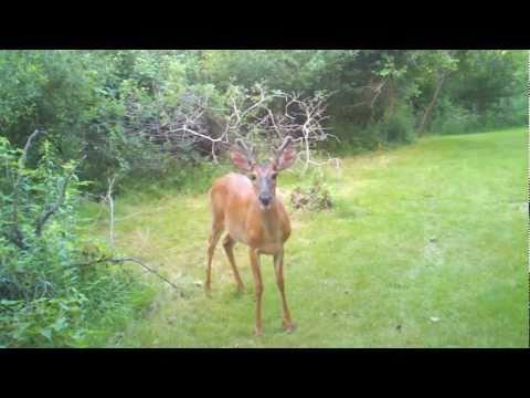 A deer on Grape Island, Boston Harbor Islands