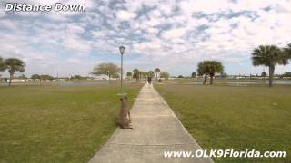 10mo Doberman/greyhound Mix. Off Leash K9 Training. Central Florida Dog Trainers.