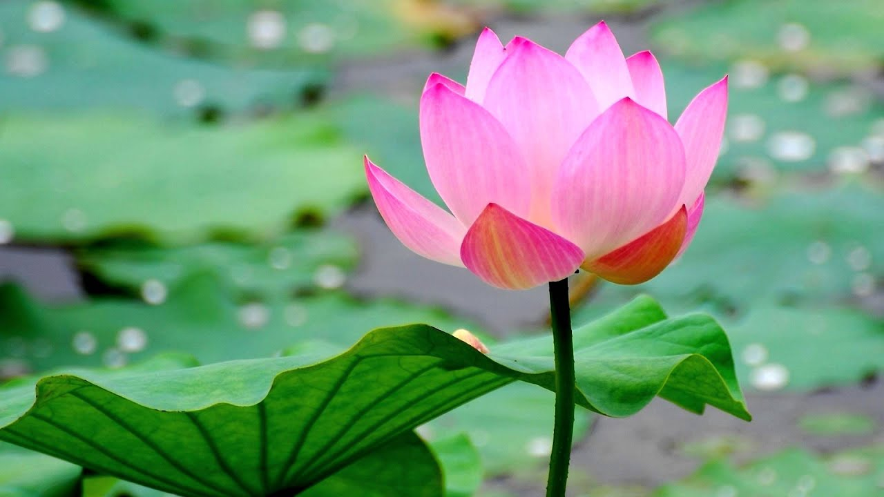 Buddhist Chant Praise Of The Lotus Pond Hd Youtube