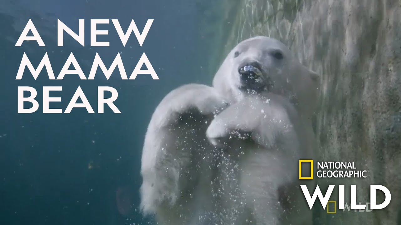 Download Welcoming a Polar Bear Cub | Secrets of the Zoo