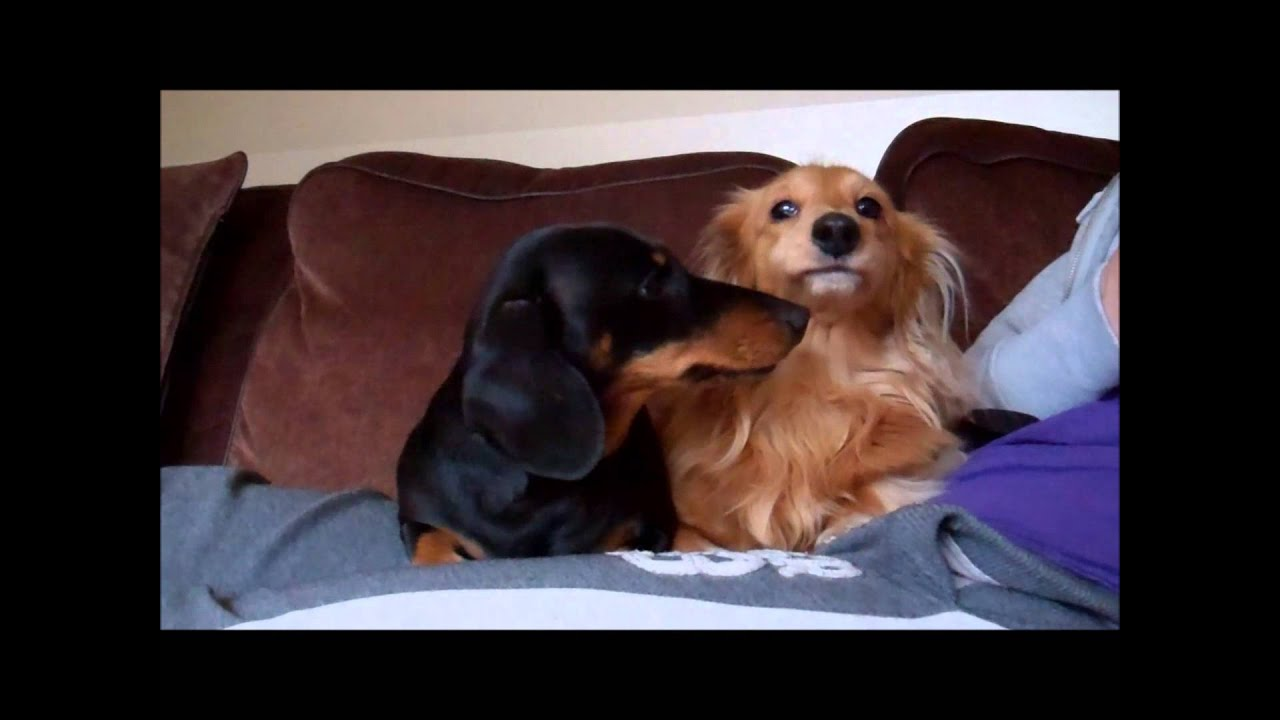 Dudley the mini dachshund, all grown up! - YouTube