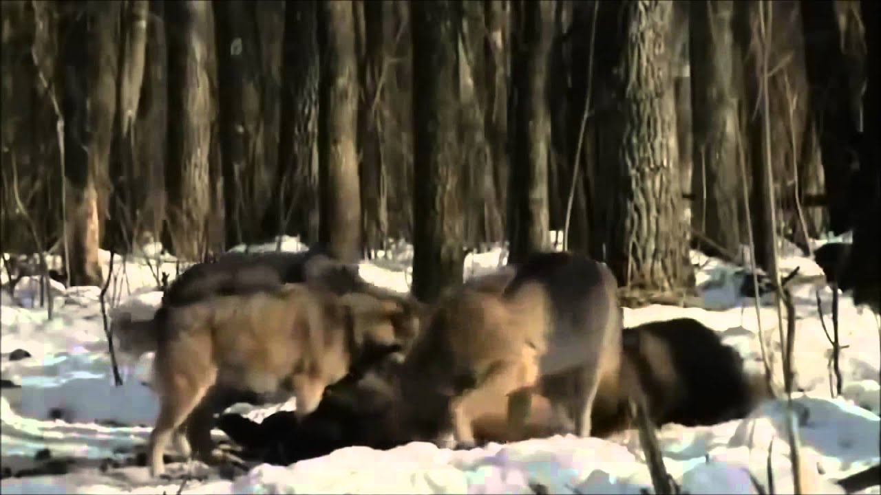 ▶ Radioactive Animals In Chernobyl  Mutations Full Documentary