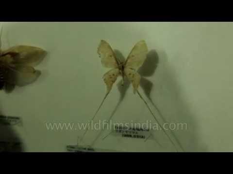 Goliathus regius beetle and Eustera Troglophylla Saturniidae moth
