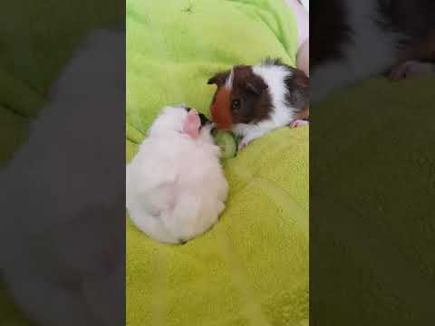 Our 2 New Baby Guinea Pigs, Bob and Teddy