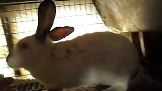 Причины по которым я кастрирую кроликов