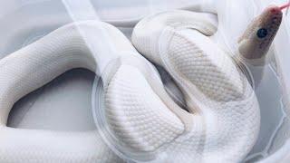 人にベタ慣れの白ヘビ達が可愛すぎる-White Snakes are very beautiful!!!-