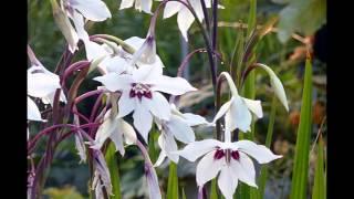 АЦИДАНТЕРА  /ACIDANTHERA( растения/plants)( HD slide show)!