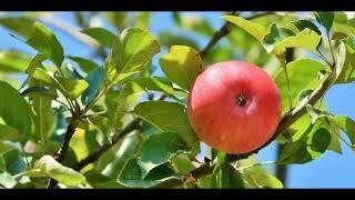 Яблочное желе.