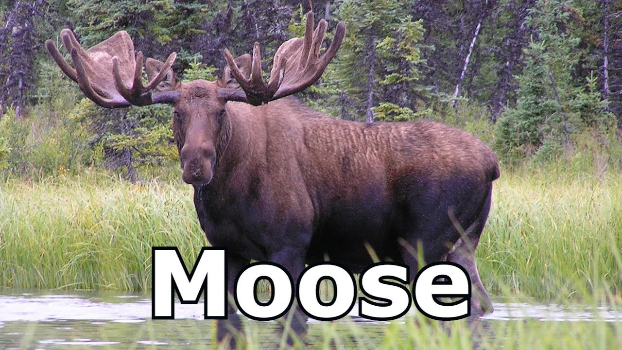 Moose Sounds Pictures The Sound A Makes