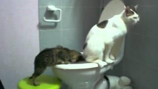 Научить кота ходить на унитаз. Система