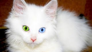 22 000$ qiymeti var    Dunyanin en bahali 10 pisik cinsi   AZERBAYCAN  