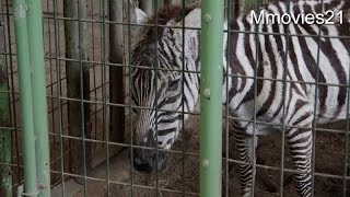 "Grant's Zebra ""Sumomo""(female,28 years old) Beautiful grandma zebra..."