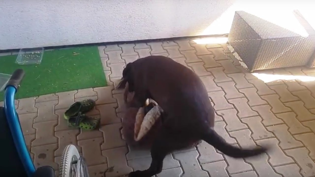 Cute young Labrador girl fell in love with her bed , mating