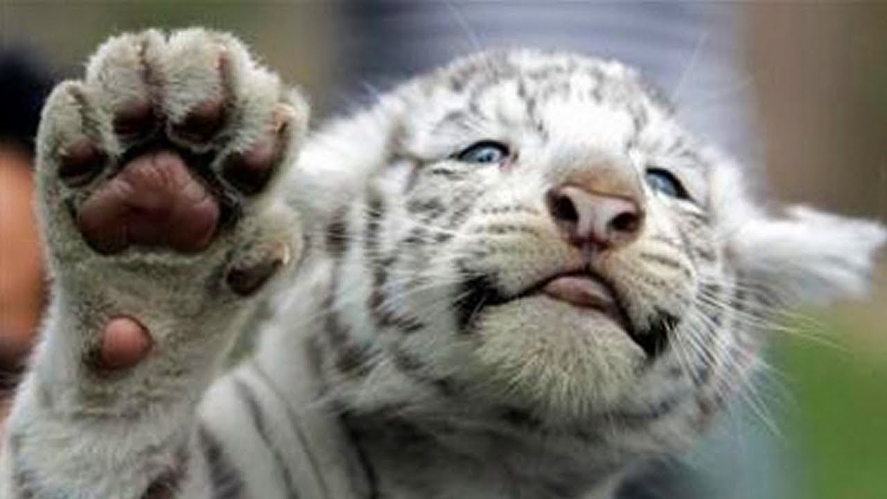 white tiger holding baby - photo #13