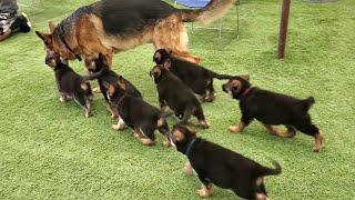 German Shepherd PUPPIES 8 weeks and DAD Play 2020