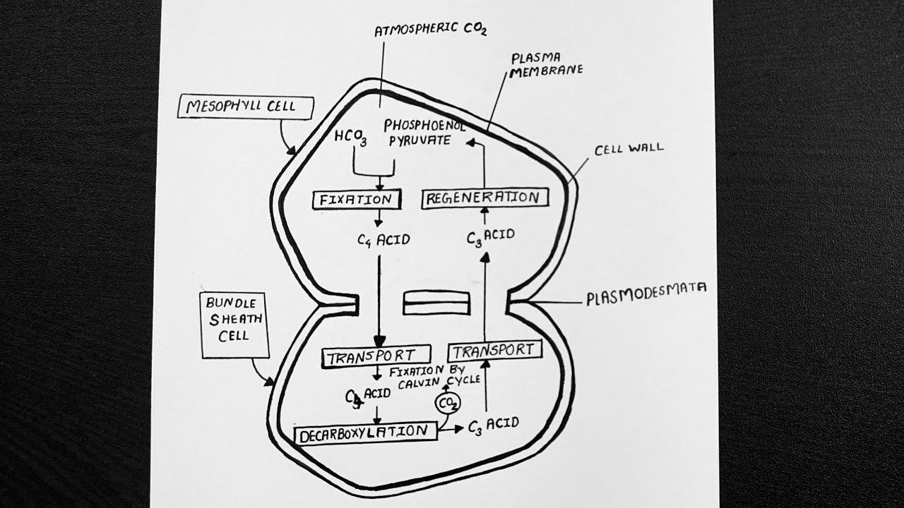 C4 Cycle Diagram