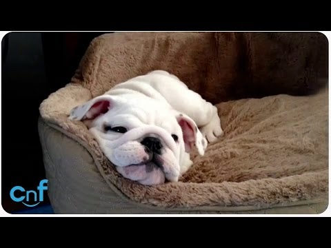 Candy the English Bulldog Plays By Herself