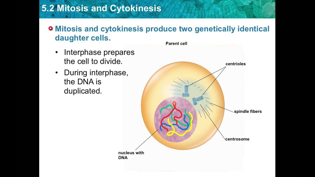 Chapter 5.2- Mitosis and Cytokinesis - YouTube