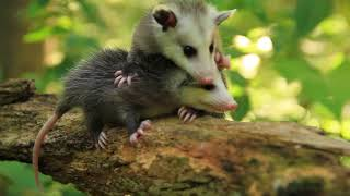 Title Animation for my short documentary about Opossums....
