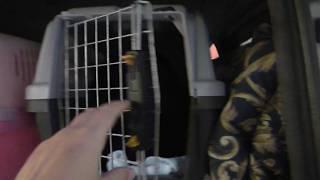 Горец и Рувим в машине_ Английский кокер спаниель в семье Билых