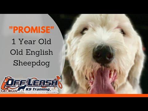Promise | 1 Year Old English Sheepdog | Off Leash K9 Training, Atlanta | Board & Train Program