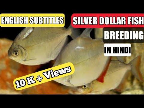 Silver Dollar Fish Breeding | How To Breed Silver Dollar Fish | Breeding Of Silver Dollar Fish.