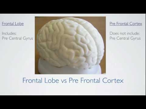 Frontal Lobe Anatomy