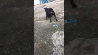 Dog Plays with Propane Tank