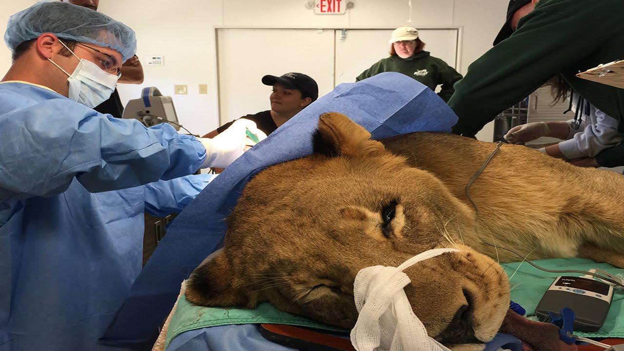 how to become an animal surgeon