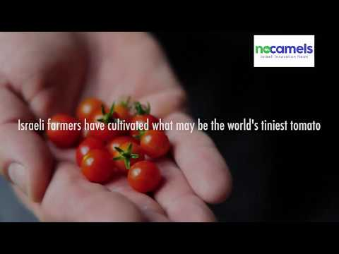 Israeli Farmers Develop What May Be The World's Tiniest Tomato