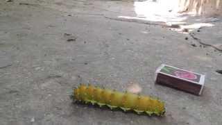Крым,большая гусеница !!!(Крым,большая гусеница !!!, 2015-07-31T19:25:10.000Z)