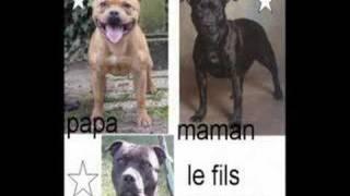 ba voila mes 2 chiens se sont des staffordshire bull terrier un mal...