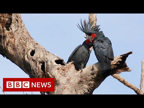 Palm cockatoo: Why a unique 'drumming' bird is in peril - BBC News