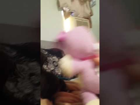 Cutest 4 week old pit bull trying to kill musical stuffed animal