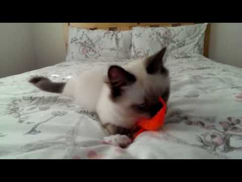 Four month kitten playing