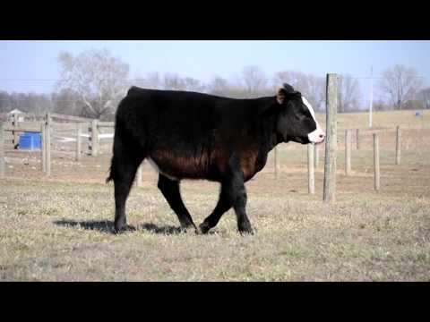 Bonnell Cattle Company Broker fall