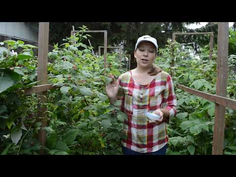Малина черная Кумберленд: урожай, посадка и уход | кумберленд | посадка | ежевика | черная | малина | видео | ютуб | уход | и