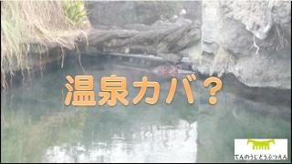 天王寺動物園のカバプール 気温、湿度、水温などの環境条件が整えば 水...