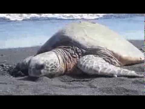 Green Sea Turtle on Punalu