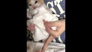 3週目になった子猫の排泄促し thumbnail