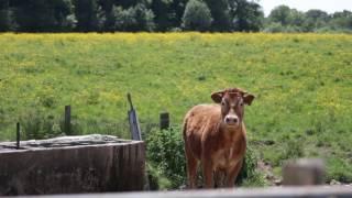 L'exportation, levier de la production bovine française - Teranima TV