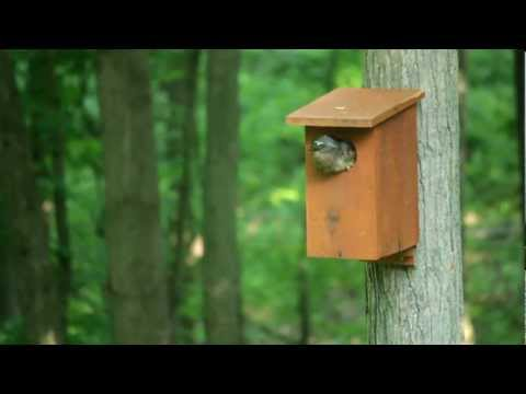 Wood Ducks leaving nest box